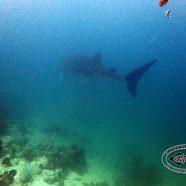 Walhai im Angthong Marine Park