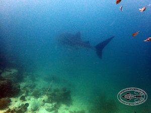 Walhai aus der Distanz bei Hin Yipon im Angthong Marine Park
