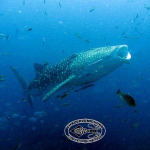 Rhincodon typus, Walhai im Golf von Thailand