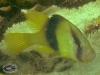 2-banded Soapfish; Diploprion bifasciatum