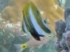 2-eyed Coralfish; Coradion melanopus