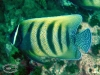6-banded Angelfish; Pomacanthus sexstriatus