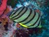 8 banded Butterflyfish; Chaetodon octofasciatus