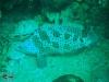 Barramundi Grouper; Cromileptes altivelis