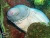 Barred Moray Eel; Echidna polyzona