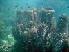 Barrel Sponge; Xestospongia testudinaria