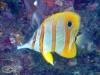 Beaked Coralfish; Chelmon rostratus