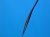 Bearded Filefish; Anacanthus barbatus