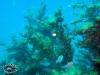 Big Hydroids; Hydrozoa