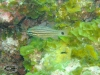 Black banded Cardinalfish; Apogon cookii