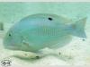 Blackspot Tuskfish; Choerodon schoenleinii