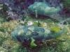 Blotched Porcupinefish; Diodon liturosus