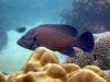 Blue lined Grouper; Cephalopholis formosa