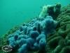 Blue Sponge; Haliclona sp.
