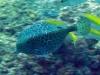Boxfish; Ostracion cubicus