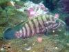 Brown banded Grouper; Cephalopholis boenack