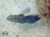 Brown banded Shrimp Goby; Amblygobius phalaena