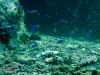 Caerulean Damselfish; Pomacentrus caeruleus