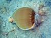 Helmet Shell; Casmaria ponderosa