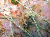Chromodoris mandapamensis