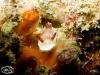 Chromodoris preciosa
