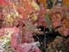 Glass Cleaner Shrimp; Urocardidella antonbruunii