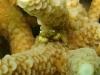 Coral Crab; Cymo andreossyi
