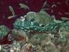 Coral Grouper; Epinephelus corallicola