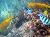 Coral Rabbitfish; Siganus corallinus