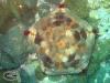 Cushion star; Culcita novaguineae
