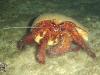 Dardanus megistos; Hermit Crab