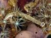 Dermatobranchus striatus; Arminidae