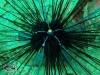 Diadem Sea Urchin; Diadema setosum