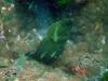 Giant Moray; Gymnothorax javanicus