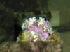 Glossodoris cincta