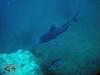 Bull Shark; Carcharhinus leucas