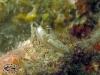 Gymnodoris citrina; Gymnodoridae