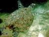 Hawksbill Turtle; Eretmochelys-imbricata