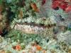 Highfin Fang Blenny; Petroscirtes mitratus