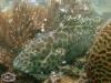 Honeycomb Grouper; Epinephelus merra
