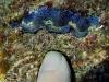 Juvenile Giant Clams; Tridacnidae