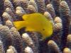 Lemon Damselfish; Pomacentrus moluccensis