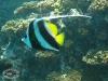 Longfin Bannerfish; Heniochus acuminatus