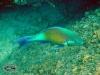 Longnose Parrotfish; Hipposcarus-harid