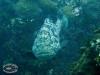 Malabar Grouper; Epinephelus malabaricus