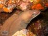 Moluccan Moray; Gymnothorax moluccensis
