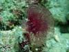 Oceanapia sagittaria; Porifera.