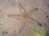 Other Starfish; Asteroidea