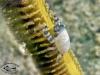 Pen Crab; Porcellanella sp.