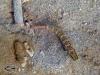Periopthalma Shrimp Goby; Amblyelotris periophthalma
